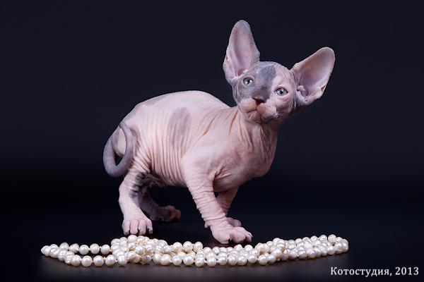 Котенок сфинкс милый и обворожительный.