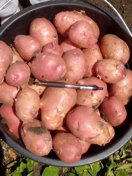 Картофель молодой оптом 5 из кфх