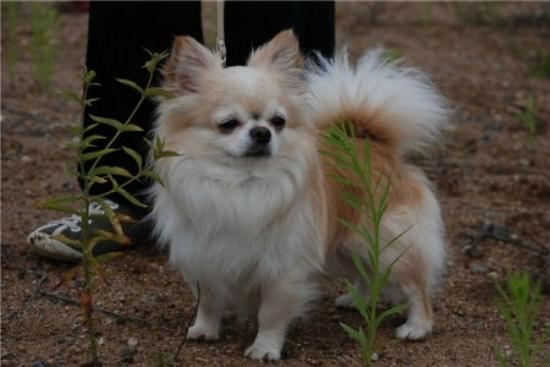 ЧИХУАХУА милый щенок