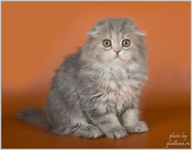 Превосходные шотландские котята из питомника