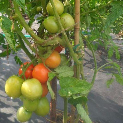 Скороспелые томаты, арбузы, огурцы, дыни