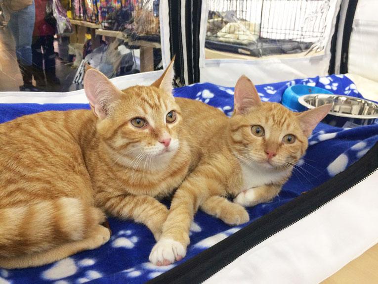 Отдам крупных рыжих котят 8 месяцев