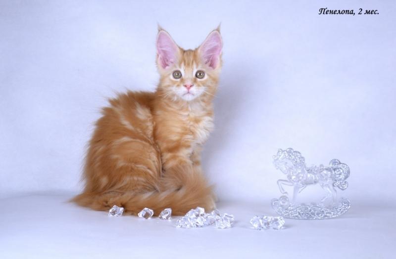 Мейн-кун крупные красивые котята