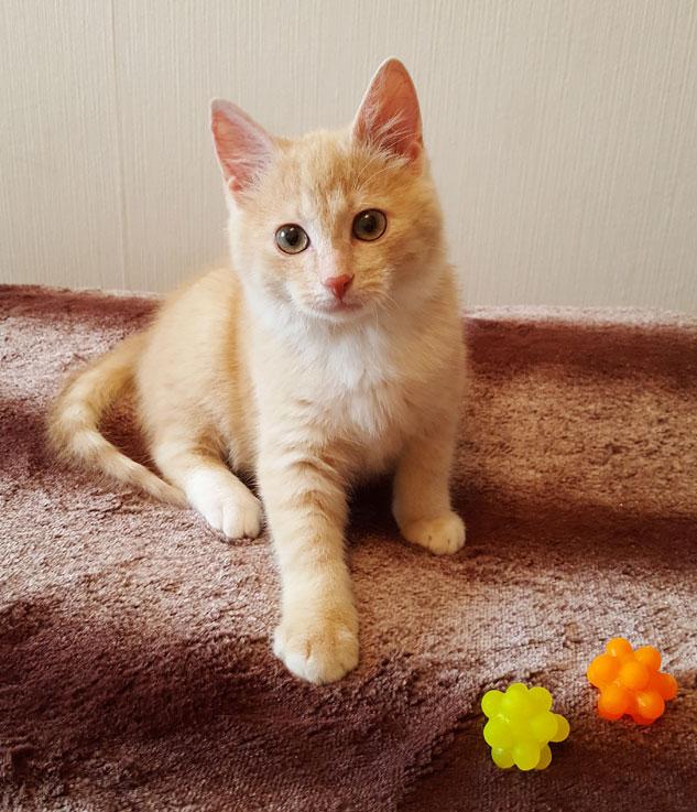 Очаровательный котнок Абрикосик в дар