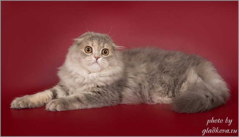 Привлекательные шотландские котята