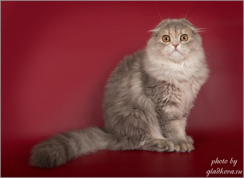 Шотландские котята для души