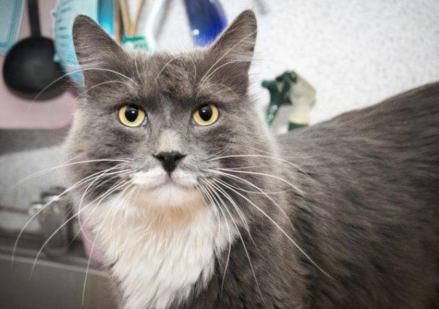 Благородный красавец Бонд, котик с человеческими глазами в добрые руки