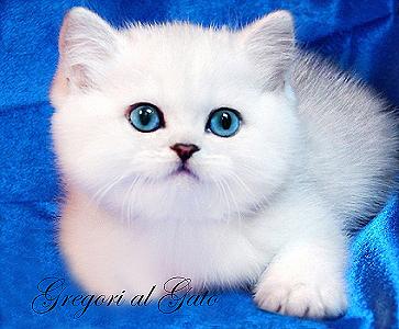Британские клубные котята Серебристые шиншиллы шоу-класс с голубыми глазками