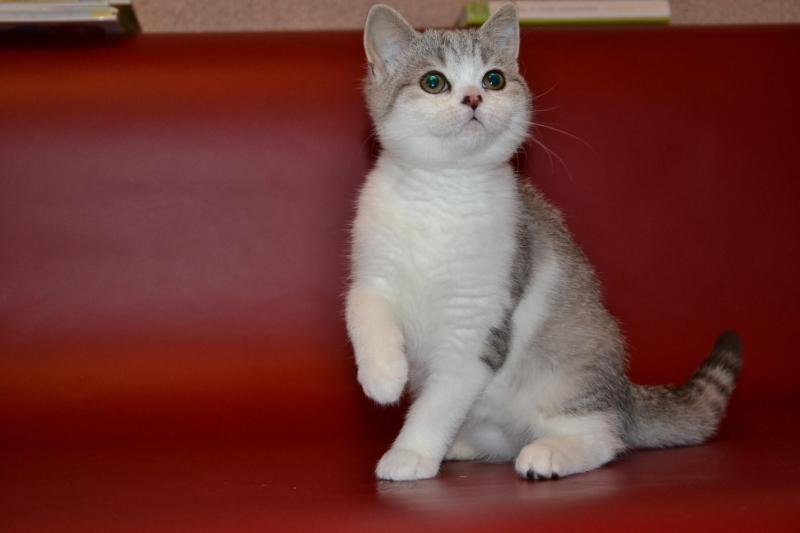 Шотландские котята - лучшие друзья