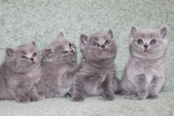 Британские котята  плюшевая мощь и красота.