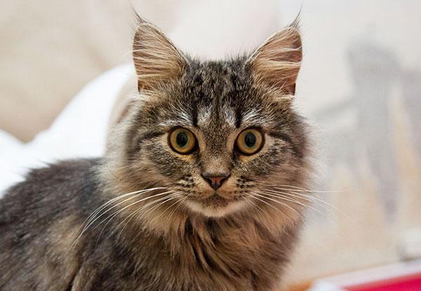 Сибирский котик-подросток Барс в дар