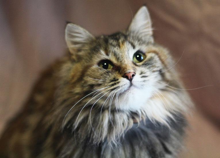 Очень ласковая пушистая кошка Зося в дар