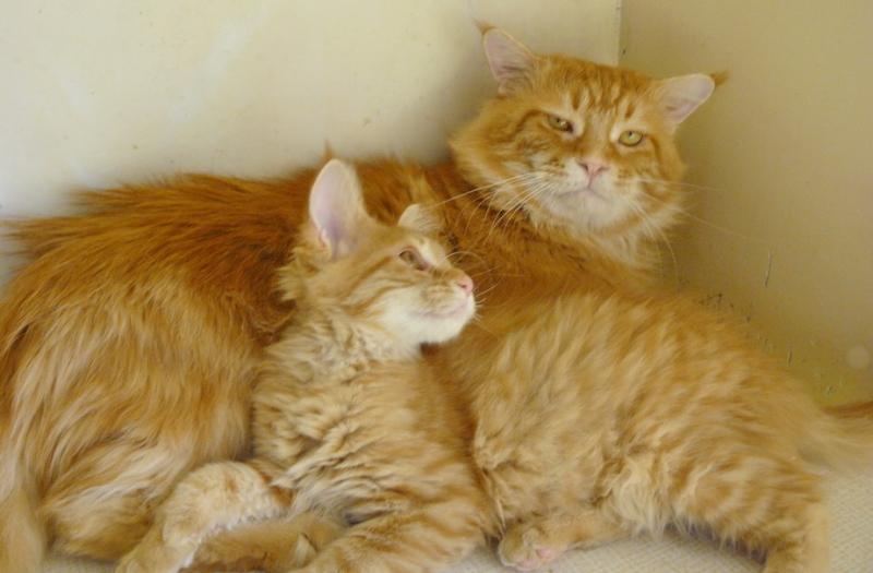 Котята мейн кун ждут вас