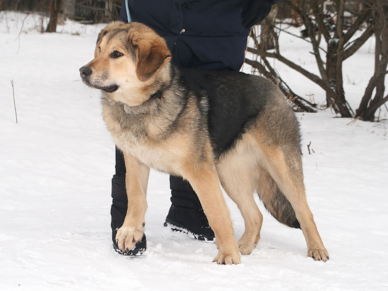 Крупная молодая собака Шейла в дар