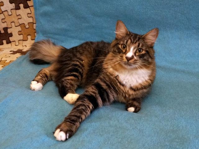 Полосатый красавчик Яша, молодой домашний котик в добрые руки