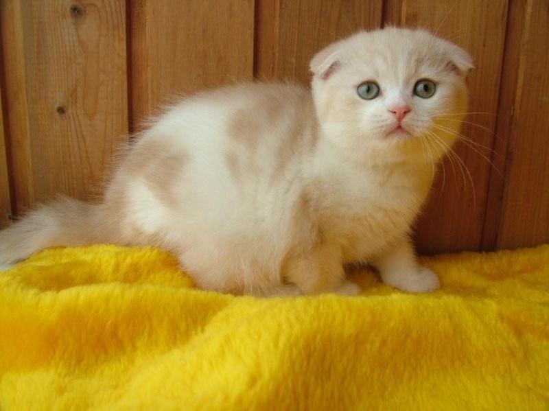 Супер-котята шотландской породы