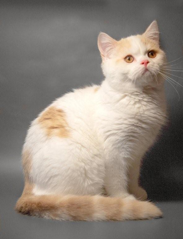 Шотландские котята в разноцветных шубках