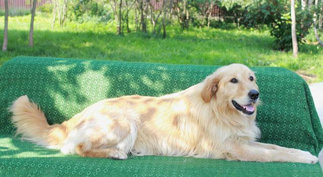 Молодой пес Мартин, породы голден ретривер в добрые руки