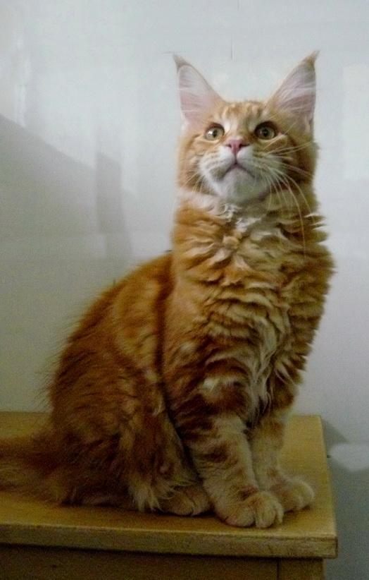 Роскошный котенок мейн кун