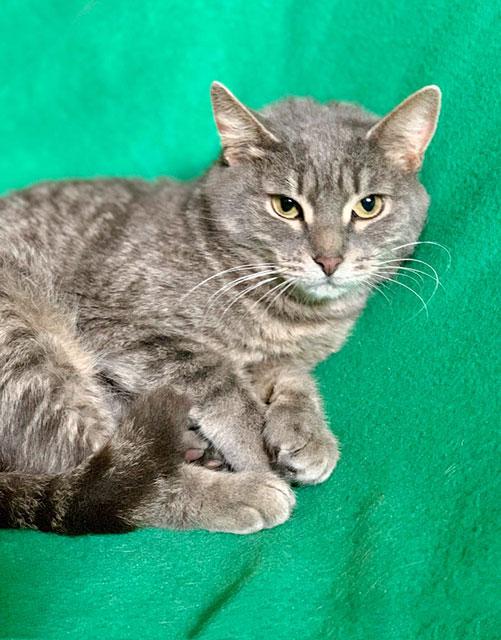 Вальяжная красавица Келли, молодая домашняя кошечка в добрые руки