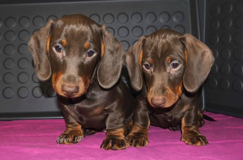 ТАКСА гладкошерстная- ШОКОЛАДНЫЕ щенкимальчики