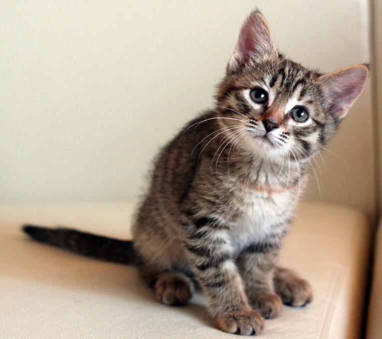Отдам потрясающего мурчаливого котнка Бусинку в дар