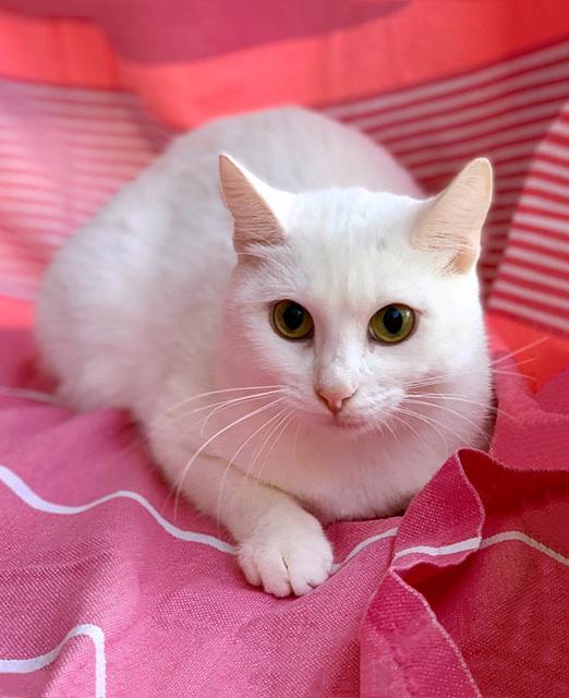 Белоснежка Ася, молодая домашняя кошечка в добрые руки