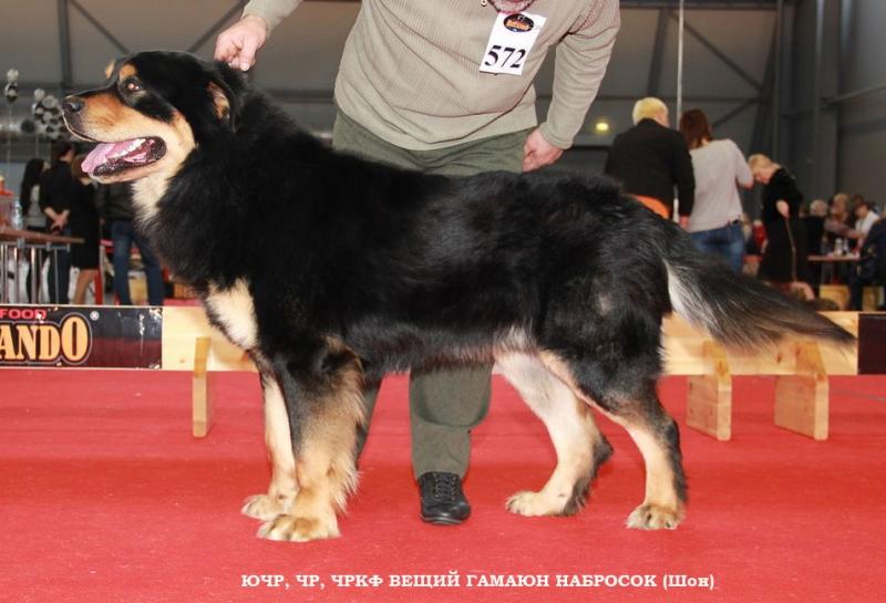 Щенки Бурят-Монгольского волкодава
