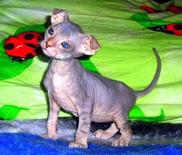 Донской сфинкс котята